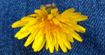 This is the single dandelion Declan found.