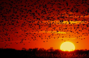 Flocking Birds